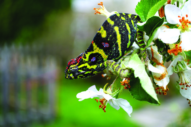 Keeping And Breeding The Minor's Chameleon