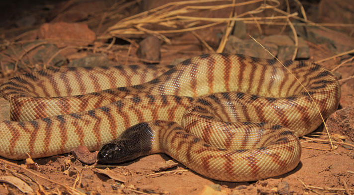 Black-headed Python Care Sheet