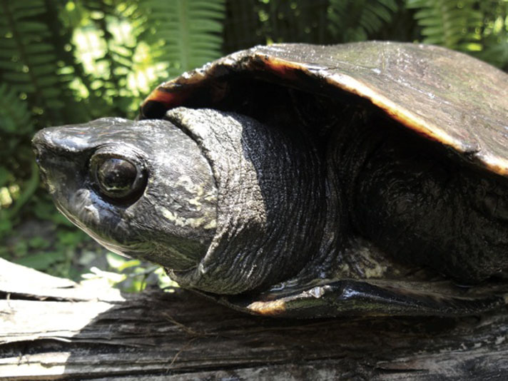 Keeping The Kwangtung Turtle