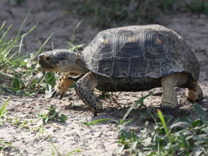 REPTILES Magazine Contributor Takes In Elderly Woman's Desert Tortoise