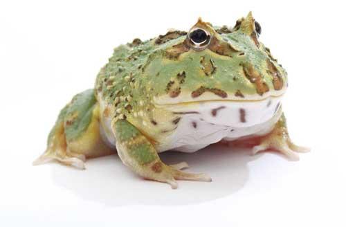 Pac Man Frog Care Sheet