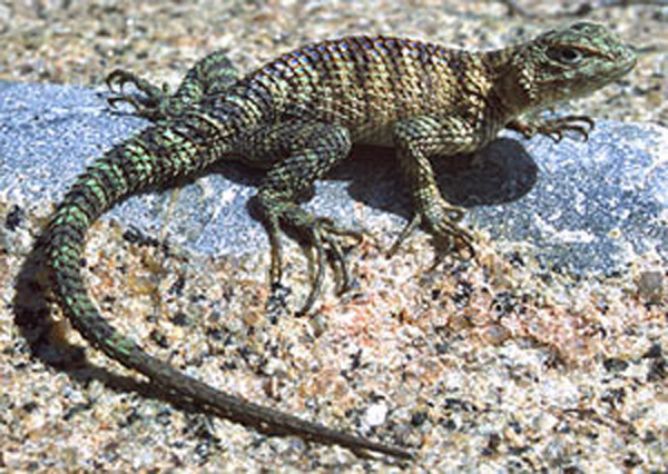 Granite Spiny Lizard Diet May Factor in More Potent Southern Pacific Rattlesnake Venom