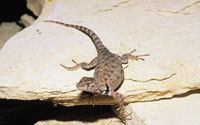 North American Lizards From The Sceloporus Genus
