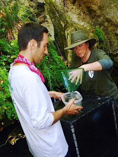 Biologists Release California Red-Legged Frog Tadpoles Into Santa Monica Mountains