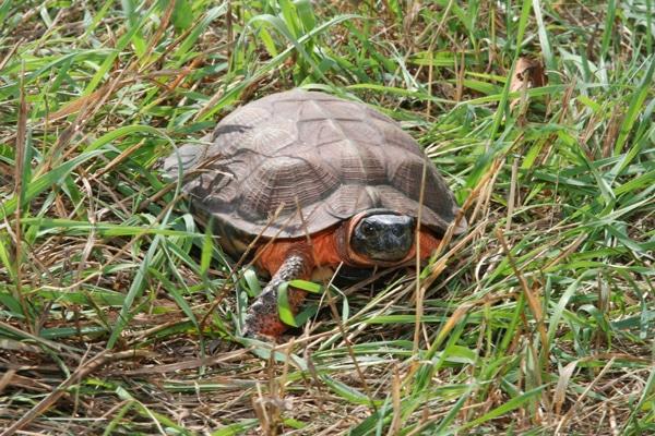 Wood Turtles Need Endangered Species Protections, Lawsuit Says