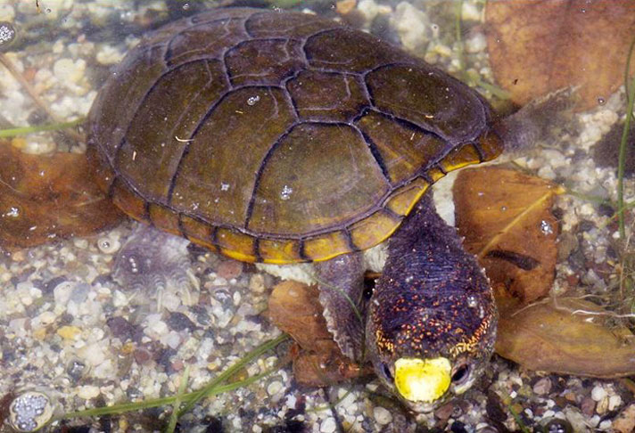 New Mud Turtle Species Discovered In Western Mexico