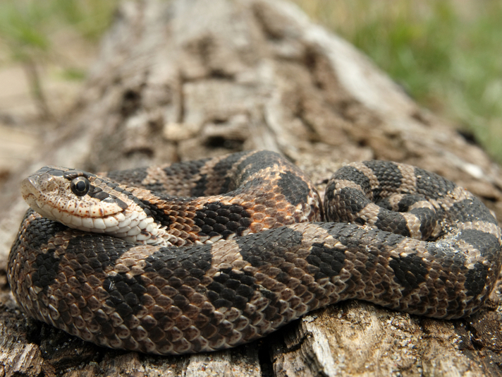 How To Get Your Hognose Snake to Start Eating Again