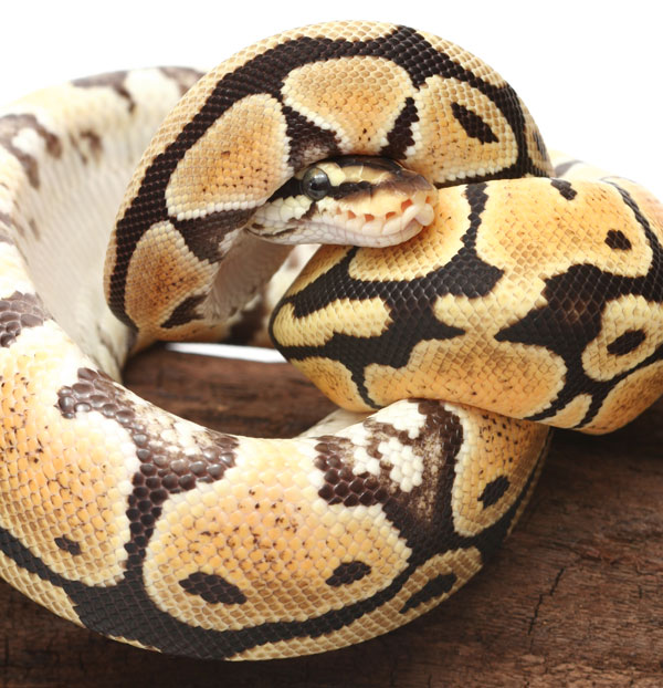 Snake Winter Anorexia