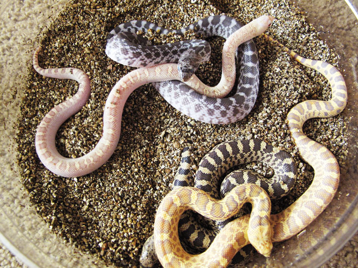 Gopher Snake Care And Breeding Information