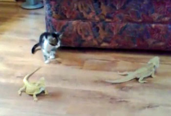 Video: Curious Kitten Freaked Out By A Pair Of Bearded Dragons