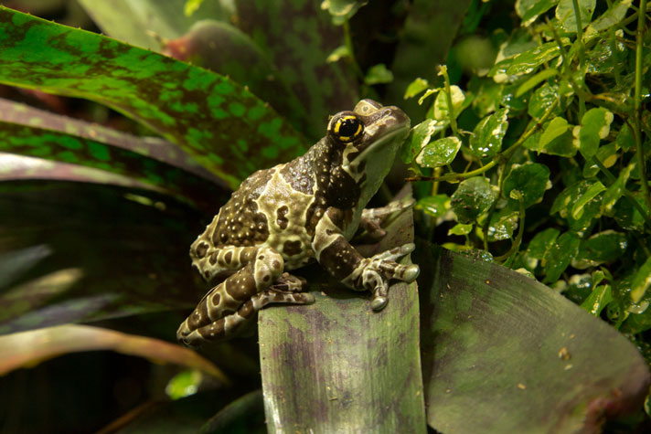 Amazon Milk Frog Care Sheet