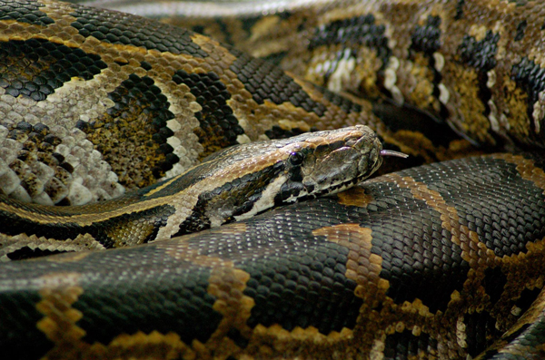RIP Monty: Louisville Zoo's Burmese Python Passes Away