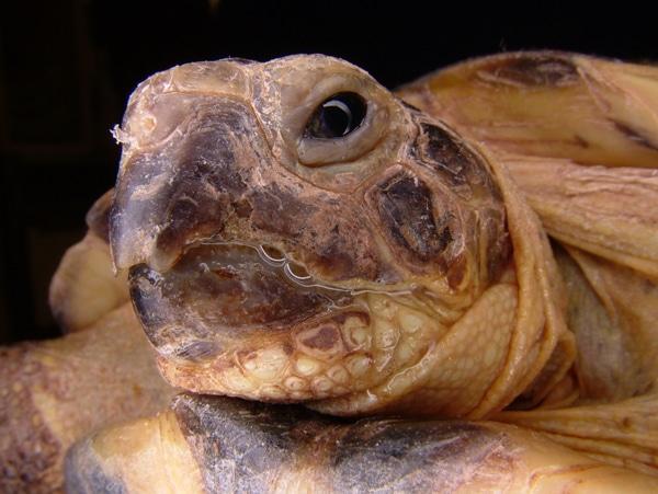 Does Your Tortoise Have Herpesvirus Of Tortoises, Chelonid Herpesvirus?