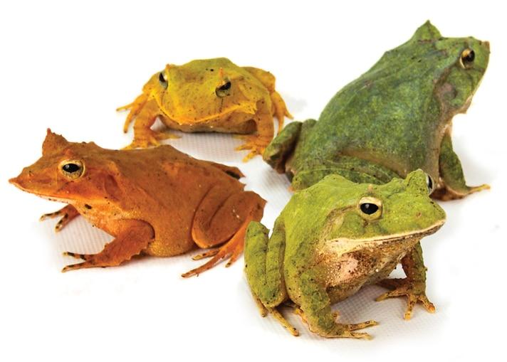 Solomon Island Leaf Frog Care And Breeding