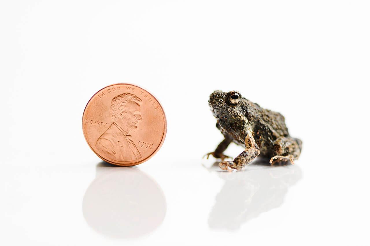 Túngara Frogs Mating Calls Also Attract Predators