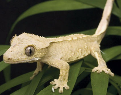 Keeping And Breeding Crested Geckos