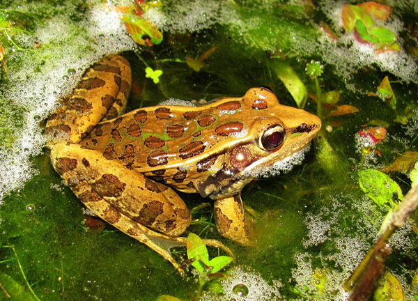 Herping The Florida Leopard Frog