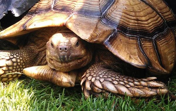 The Vet Report: Sulcata Tortoise Spine Abnormality