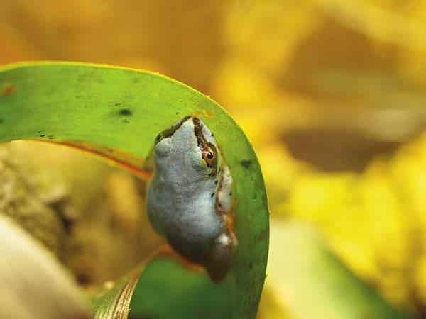 Breeding Blue-back Reed Frogs