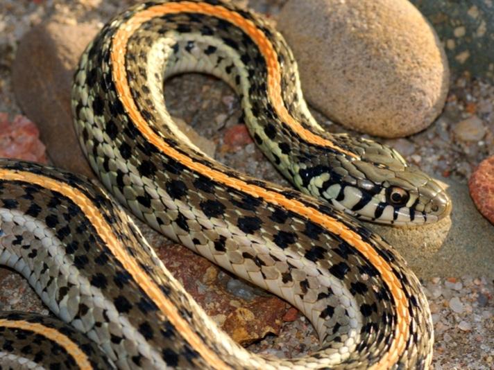 Plains Garter Snake Treated For Skin Cancer in Ohio