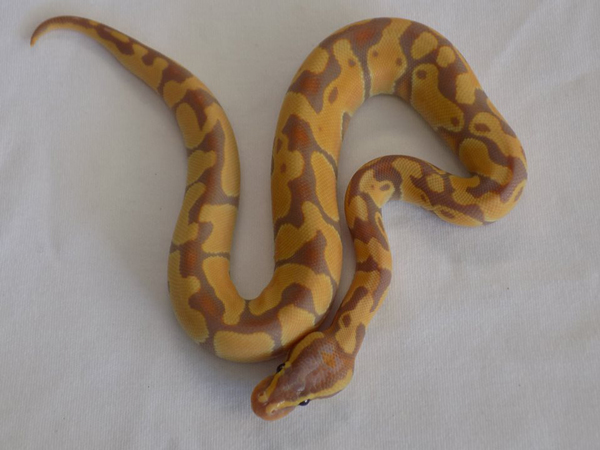 Thief Steals $18,000 in Ball Pythons and Frozen Rats From Nebraska Pet Store