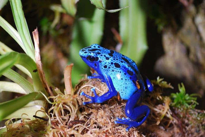 Poison Dart Frog Care Sheet