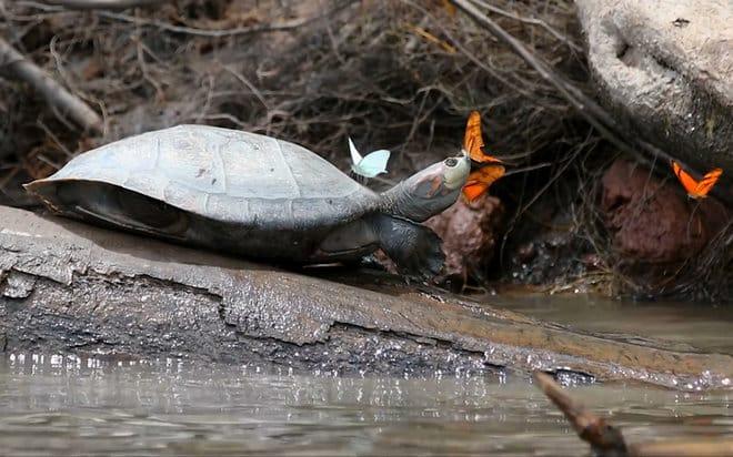 Butterflies Drink the Tears of Turtles in Stunning Video
