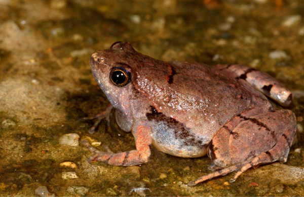 New Frog Species Discovered in Laterite Rock Formations of India