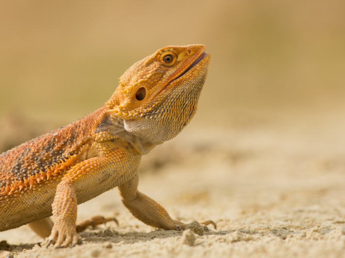 5 Facts About The Bearded Dragon