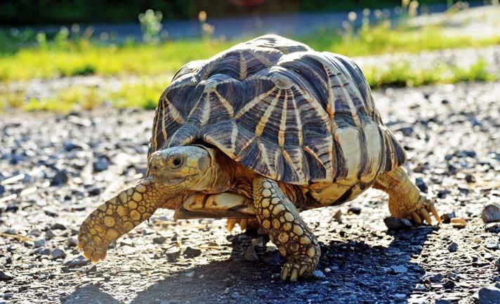 The Burmese Star Tortoise