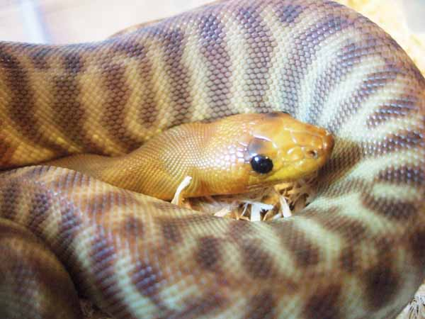 Woma Python Care And Breeding