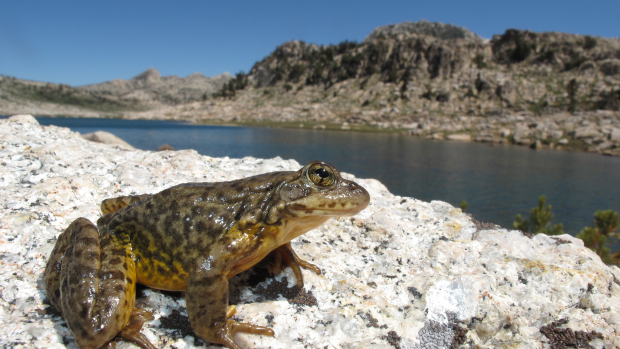 Tree Thinning At Lake Tahoe On Hold Due To Potential Negative Effects To Sierra Nevada Yellow-legged Frog