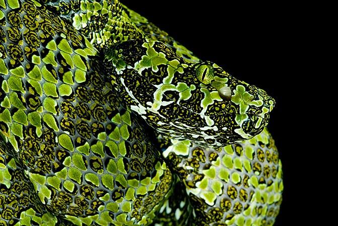 Giant Venomous Snakes: The Mangshan Pit Viper