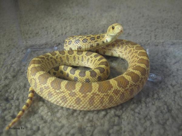Gopher Snake Care Sheet