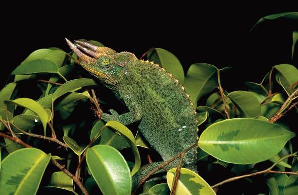 Expert Tips On Keeping The Jackson's Chameleon