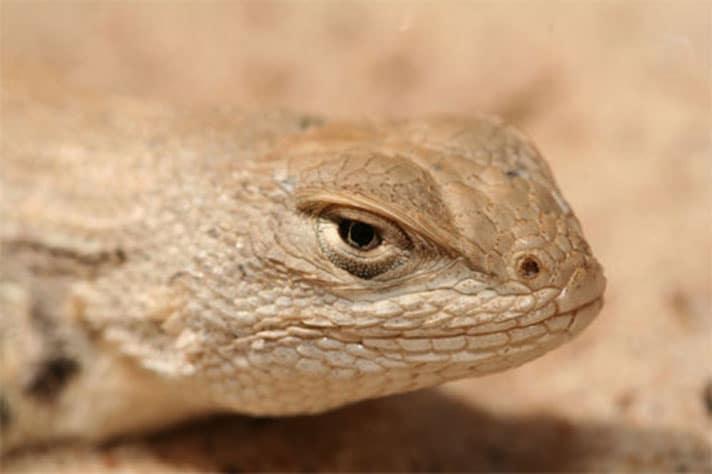 Texas Ends Conservation Plan For Dunes Sagebrush Lizard