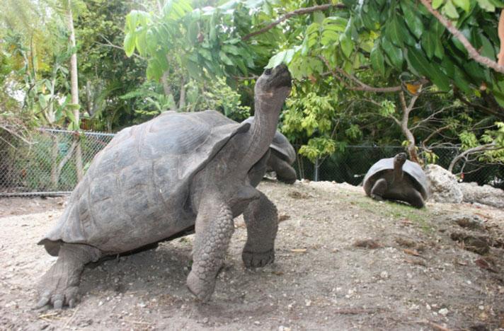 Galapagos Tortoise Conservation: Three Jays Tortoise Sanctuary