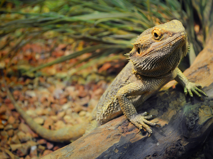 Oregon Grandma Performs CPR On Bearded Dragon And Saves Grandson's Pet