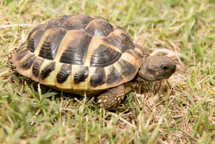 Hermann's Tortoise Care And Information