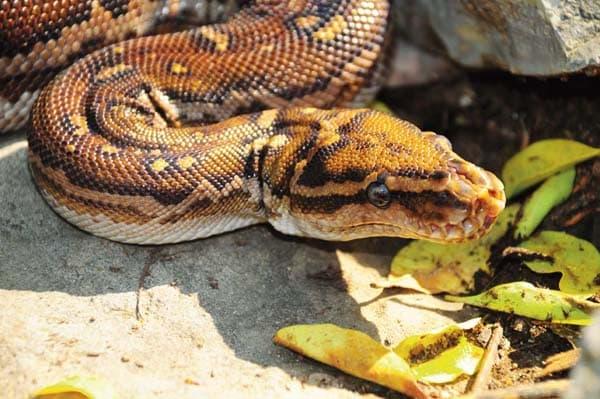Angolan Python Care Tips And Secrets