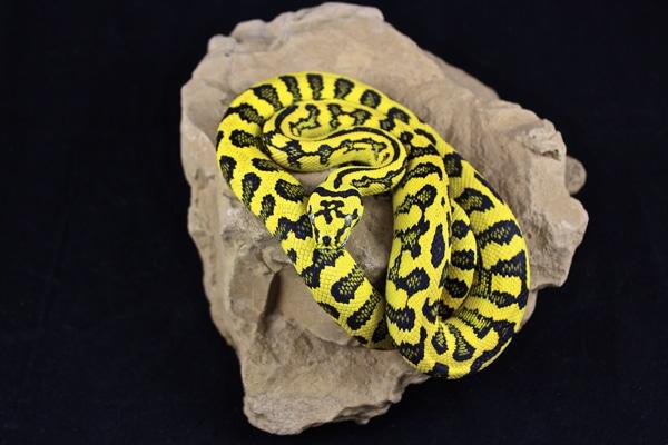 Breeding Carpet Pythons