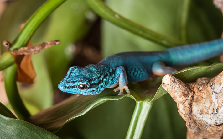 Electric Blue Gecko Care And Breeding Information