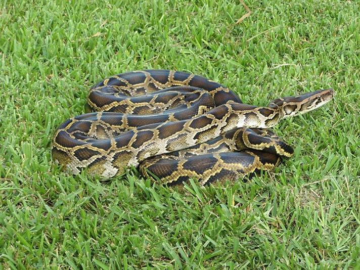 Florida's Invasive Burmese Pythons Spreading Disease To Native Snakes, Study Says