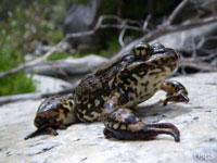 Mountain Yellow-Legged Frogs Breeding Again In California's San Gabriel Mountains