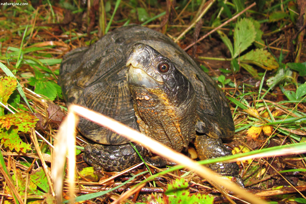 Herping The Wood Turtle