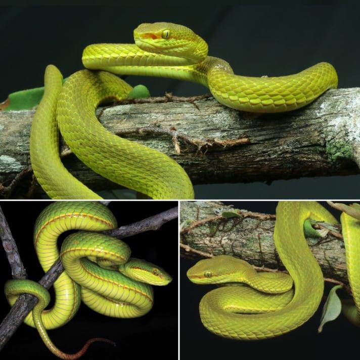 New Green Pit Viper Species Discovered  In India's Western Arunachal Pradesh