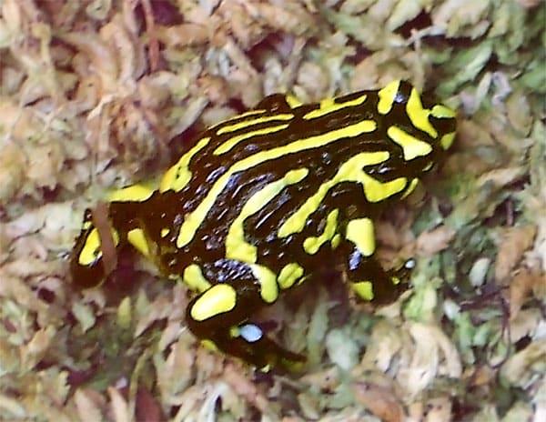 Southern Corroboree Frog Breeding Program Suffers Setback Due To Australian Fires