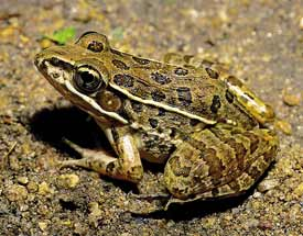 Reptiles And Amphibians Of Mexico