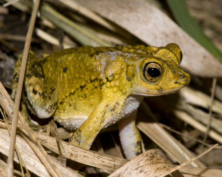 In A First, Puerto Rican Crested Toads Conceived Via In Vitro Fertilization
